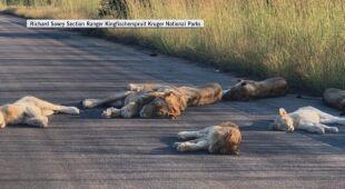 Lwy wypoczywają na drodze