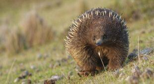 Kolczatka australijska może pomóc w ratowaniu gleby